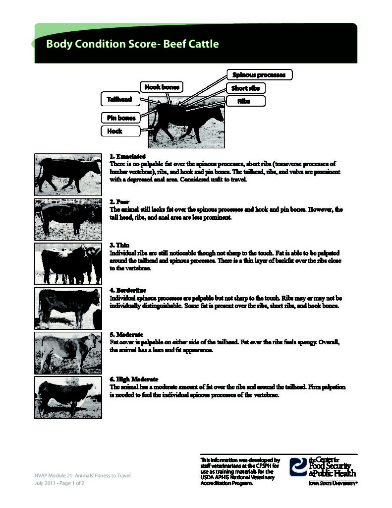 Beef Cattle Condition Chart